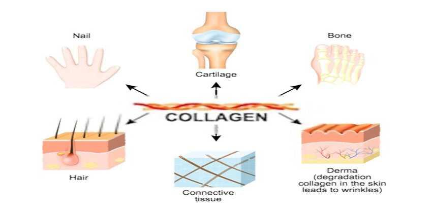 الكولاجين الطبيعي